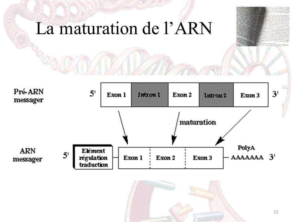 La maturation de lARN 15
