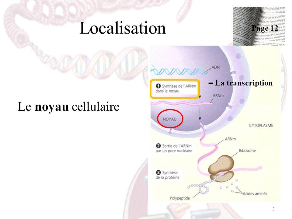 Localisation Le noyau cellulaire = La transcription 3 Page 12