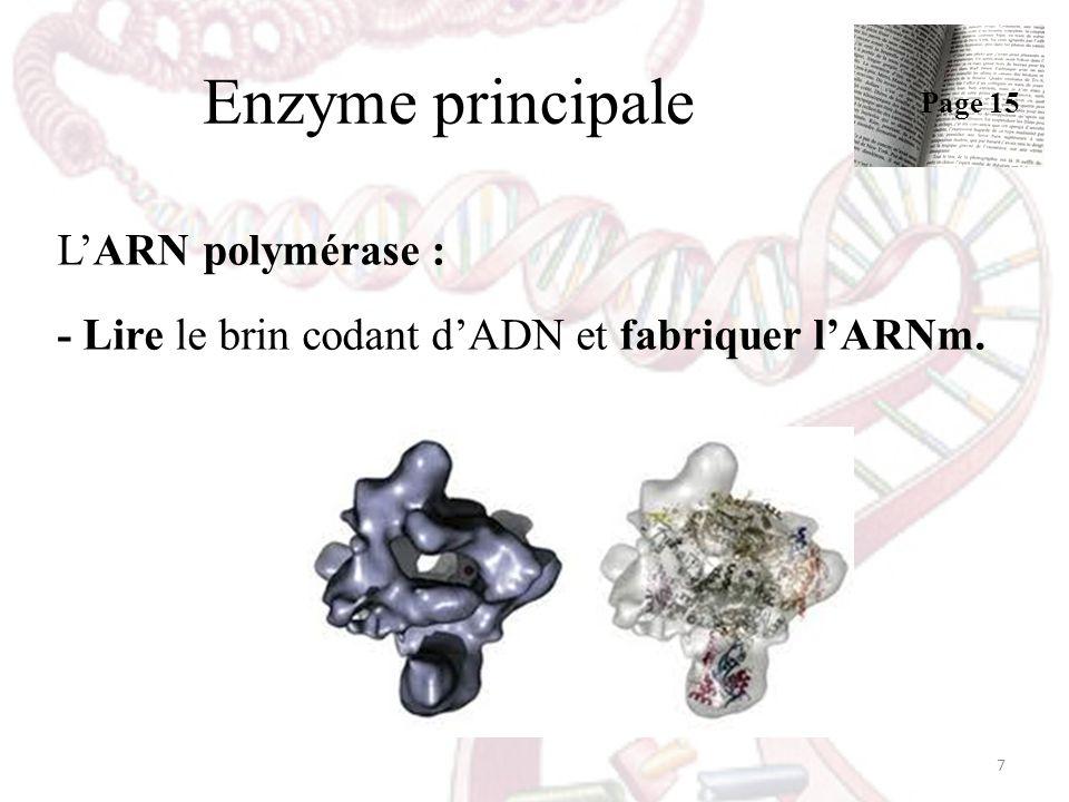 Enzyme principale LARN polymérase : - Lire le brin codant dADN et fabriquer lARNm. 7 Page 15