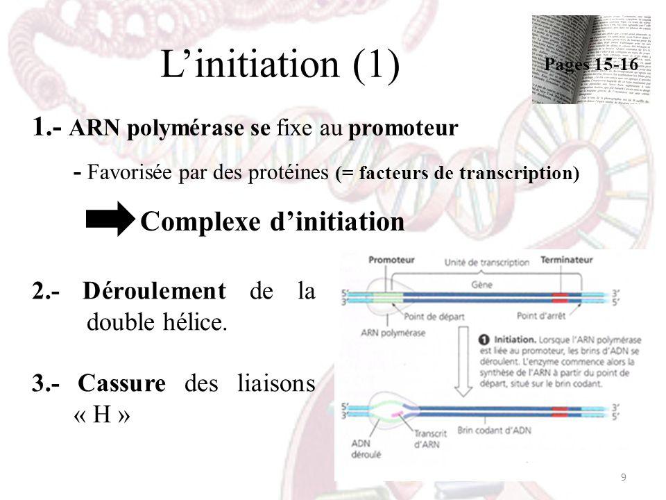 Linitiation (1) 2.- Déroulement de la double hélice. 3.- Cassure des liaisons « H » 9 Pages 15-16 1.- ARN polymérase se fixe au promoteur - Favorisée