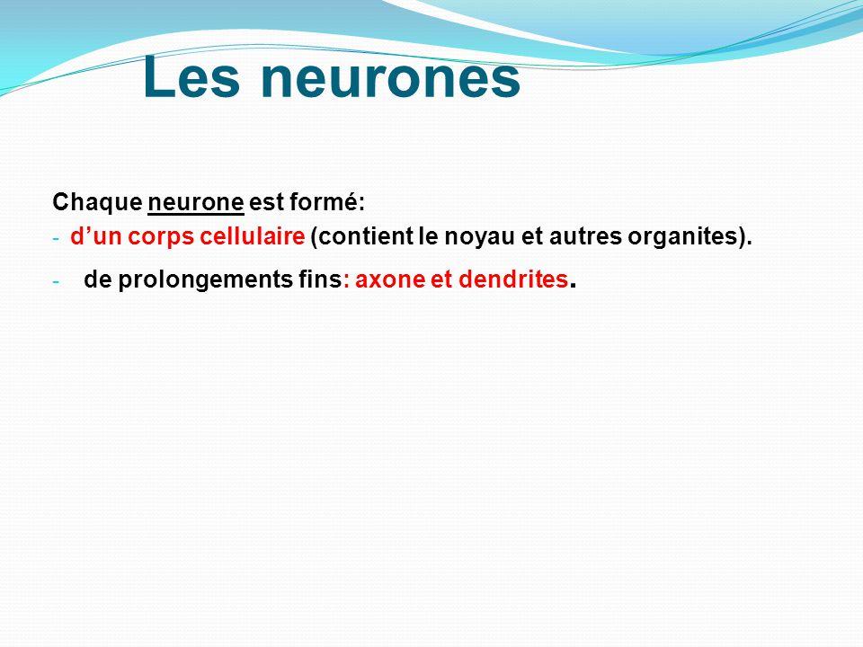 Les neurones Chaque neurone est formé: - dun corps cellulaire (contient le noyau et autres organites). - de prolongements fins: axone et dendrites.