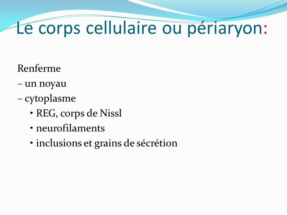 Le corps cellulaire ou périaryon: Renferme – un noyau – cytoplasme REG, corps de Nissl neurofilaments inclusions et grains de sécrétion