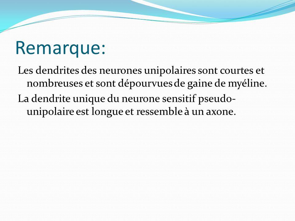 Remarque: Les dendrites des neurones unipolaires sont courtes et nombreuses et sont dépourvues de gaine de myéline. La dendrite unique du neurone sens