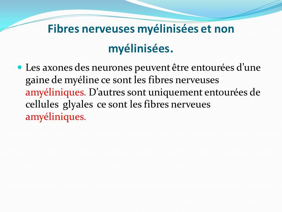 Fibres nerveuses myélinisées et non myélinisées. Les axones des neurones peuvent être entourées dune gaine de myéline ce sont les fibres nerveuses amy