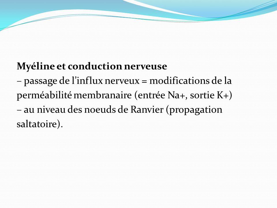 Myéline et conduction nerveuse – passage de linflux nerveux = modifications de la perméabilité membranaire (entrée Na+, sortie K+) – au niveau des noe