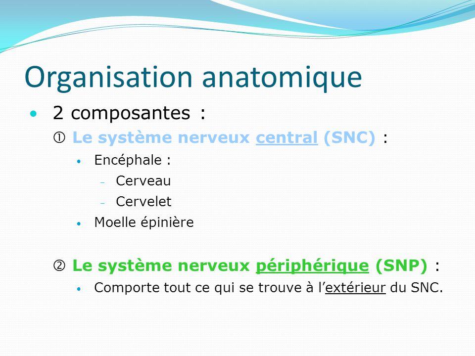 Organisation anatomique 2 composantes : Le système nerveux central (SNC) : Encéphale : – Cerveau – Cervelet Moelle épinière Le système nerveux périphé