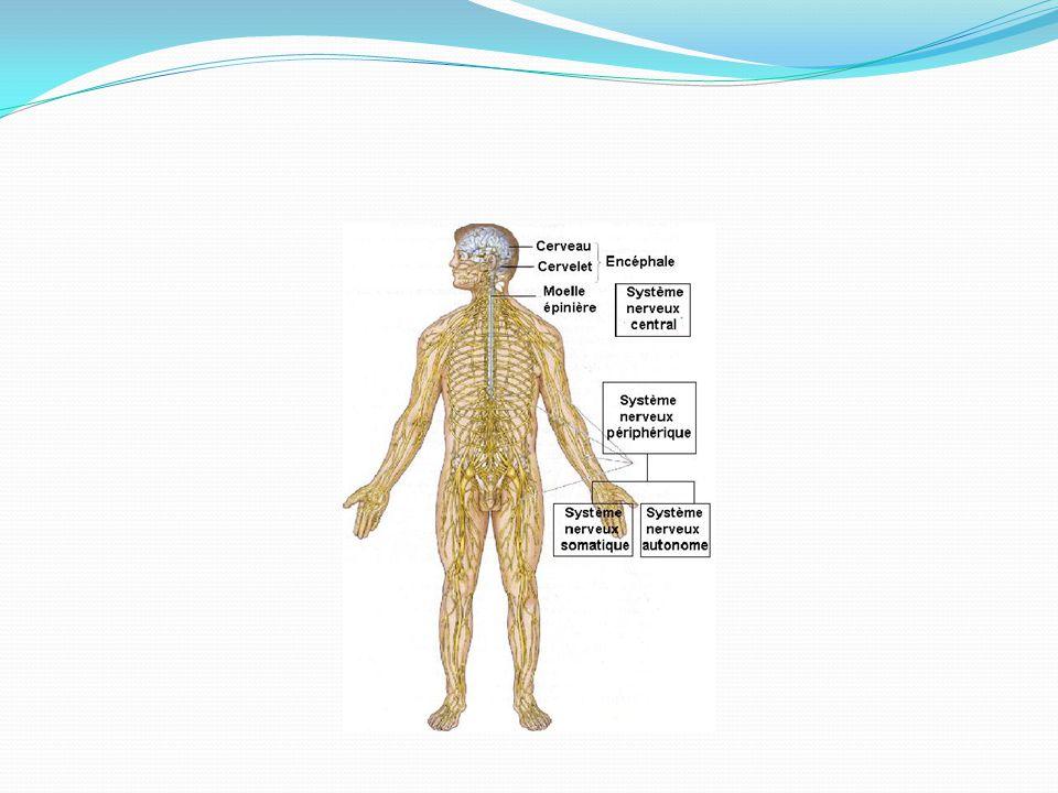 Subdivisions du SNP Le SNP se scinde en 2 autres composantes : SN somatique « volontaire » Muscles squelettiques SN autonome « involontaire » Muscles lisses ou cardiaque et glandes Sympathique Parasympathique