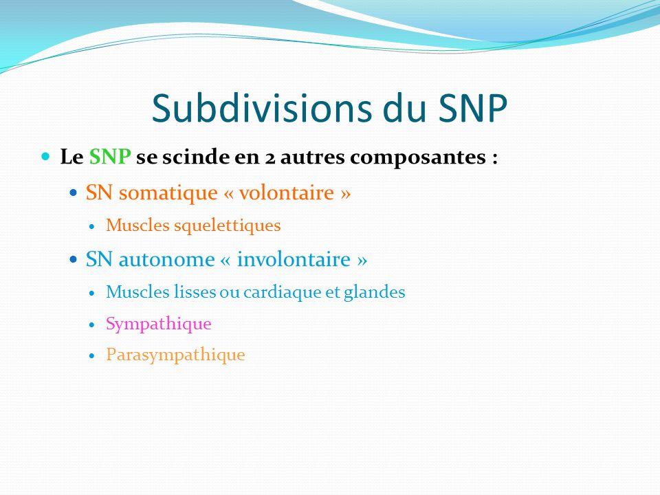 Subdivisions du SNP Le SNP se scinde en 2 autres composantes : SN somatique « volontaire » Muscles squelettiques SN autonome « involontaire » Muscles