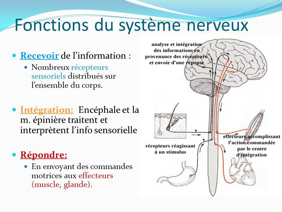 Fonctions du système nerveux Recevoir de linformation : Nombreux récepteurs sensoriels distribués sur lensemble du corps. Intégration: Encéphale et la