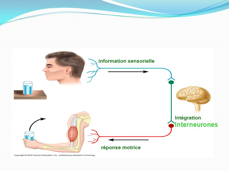 information sensorielle Intégration Interneurones réponse motrice