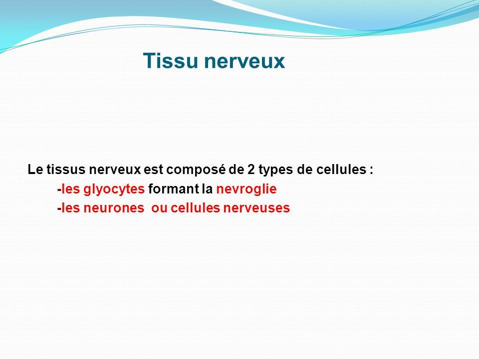 Tissu nerveux Le tissus nerveux est composé de 2 types de cellules : -les glyocytes formant la nevroglie -les neurones ou cellules nerveuses