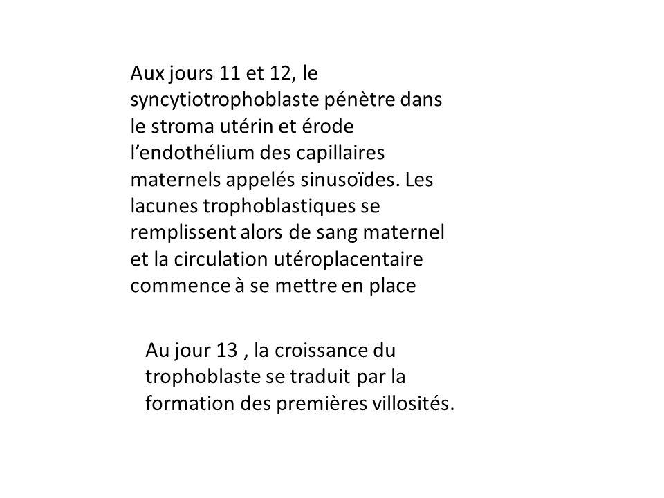 Aux jours 11 et 12, le syncytiotrophoblaste pénètre dans le stroma utérin et érode lendothélium des capillaires maternels appelés sinusoïdes. Les lacu