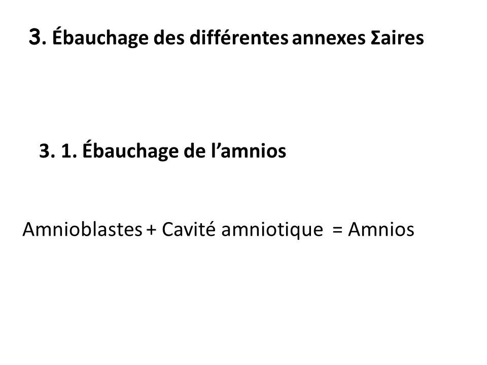 3. Ébauchage des différentes annexes Σaires 3. 1. Ébauchage de lamnios Amnioblastes + Cavité amniotique = Amnios