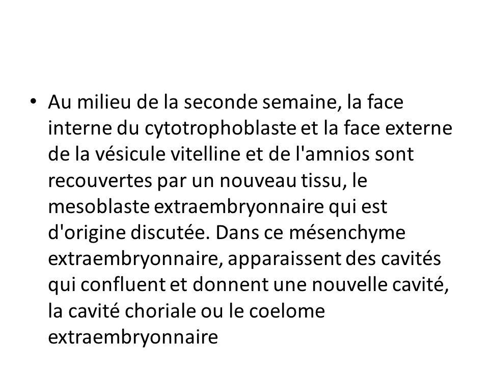 Au milieu de la seconde semaine, la face interne du cytotrophoblaste et la face externe de la vésicule vitelline et de l'amnios sont recouvertes par u