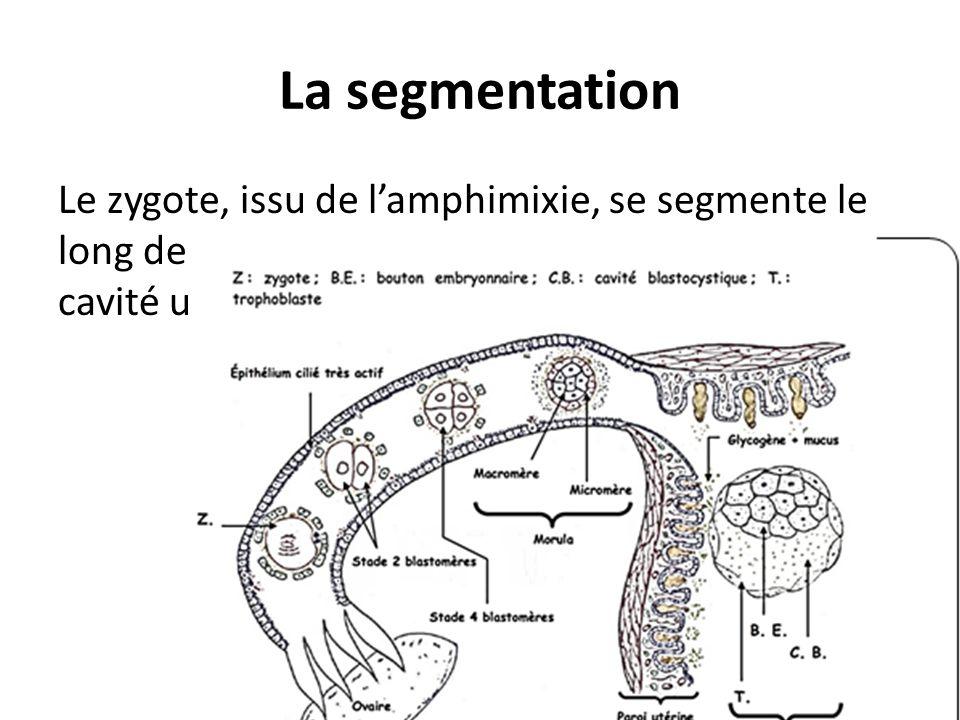 La segmentation Le zygote, issu de lamphimixie, se segmente le long de loviducte tout en se dirigeant vers la cavité utérine.