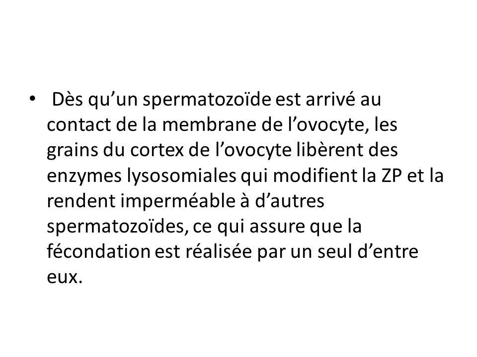 Dès quun spermatozoïde est arrivé au contact de la membrane de lovocyte, les grains du cortex de lovocyte libèrent des enzymes lysosomiales qui modifient la ZP et la rendent imperméable à dautres spermatozoïdes, ce qui assure que la fécondation est réalisée par un seul dentre eux.