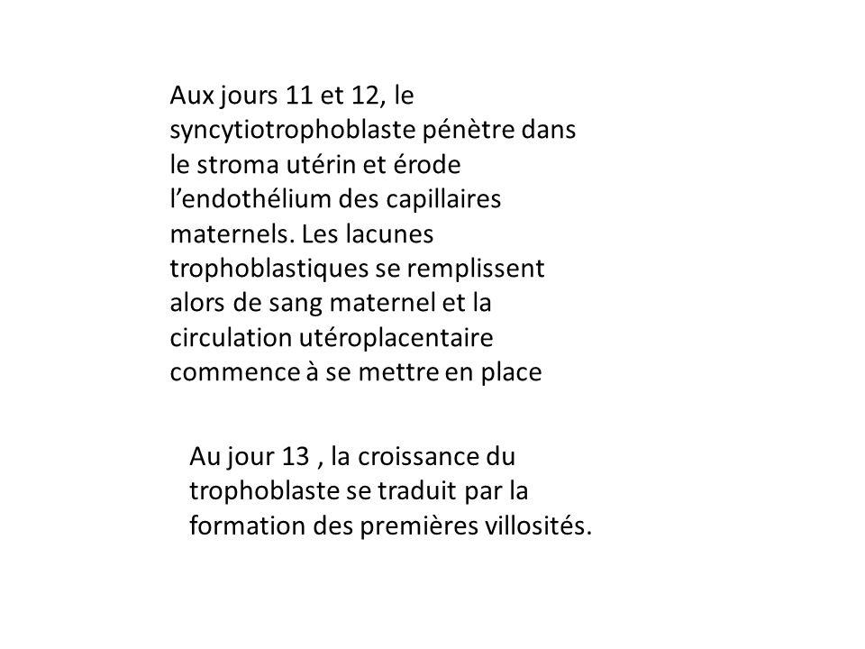 Aux jours 11 et 12, le syncytiotrophoblaste pénètre dans le stroma utérin et érode lendothélium des capillaires maternels.