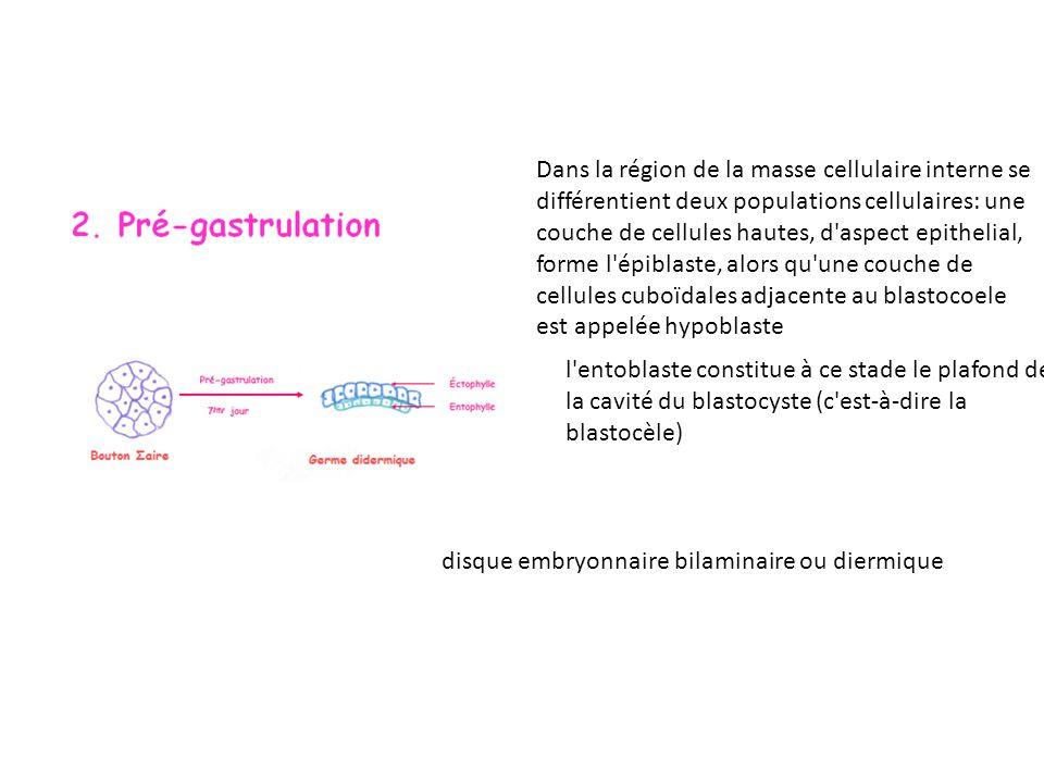Dans la région de la masse cellulaire interne se différentient deux populations cellulaires: une couche de cellules hautes, d aspect epithelial, forme l épiblaste, alors qu une couche de cellules cuboïdales adjacente au blastocoele est appelée hypoblaste disque embryonnaire bilaminaire ou diermique l entoblaste constitue à ce stade le plafond de la cavité du blastocyste (c est-à-dire la blastocèle)