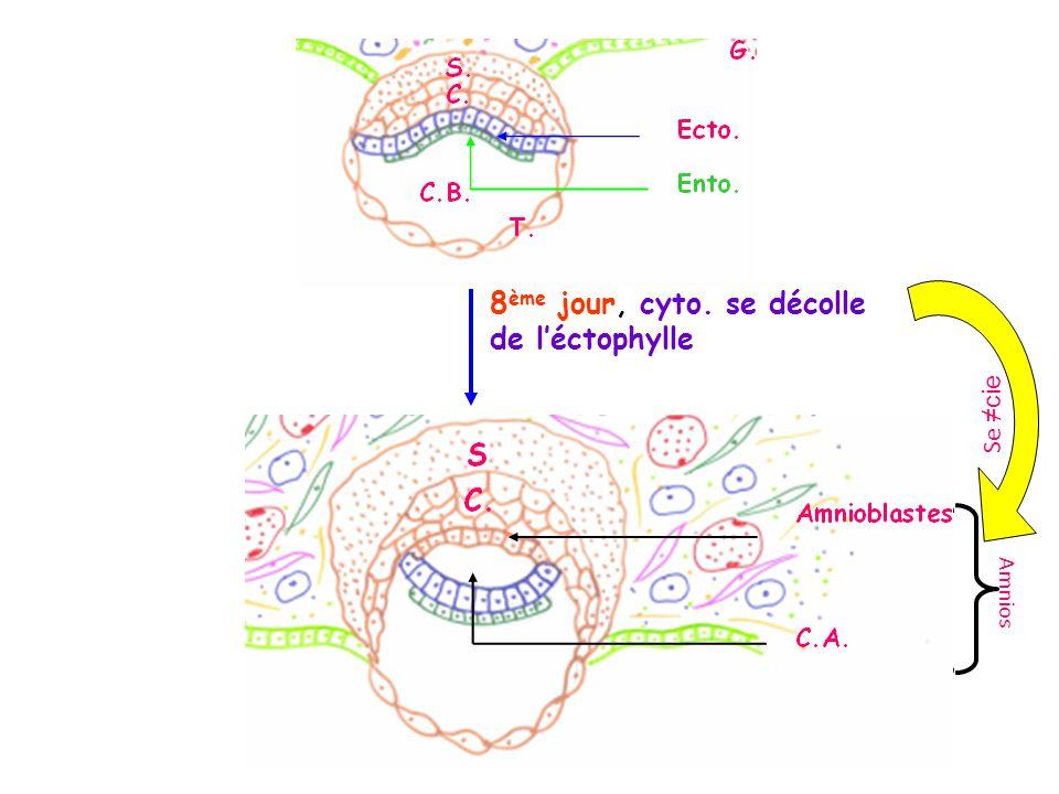 8 ème jour, cyto. se décolle de léctophylle A m n i o s Se cie