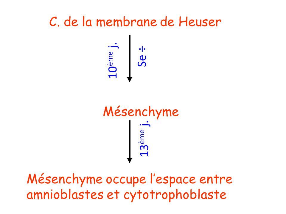 C. de la membrane de Heuser Se ÷ Mésenchyme 10 ème j. 13 ème j. Mésenchyme occupe lespace entre amnioblastes et cytotrophoblaste