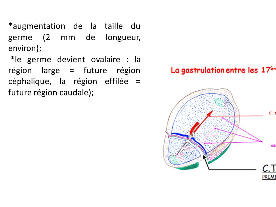 *augmentation de la taille du germe (2 mm de longueur, environ); *le germe devient ovalaire : la région large = future région céphalique, la région effilée = future région caudale);