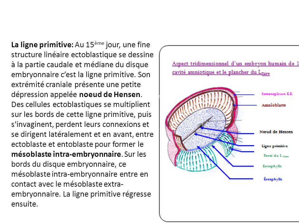 La ligne primitive: Au 15 ème jour, une fine structure linéaire ectoblastique se dessine à la partie caudale et médiane du disque embryonnaire cest la ligne primitive.