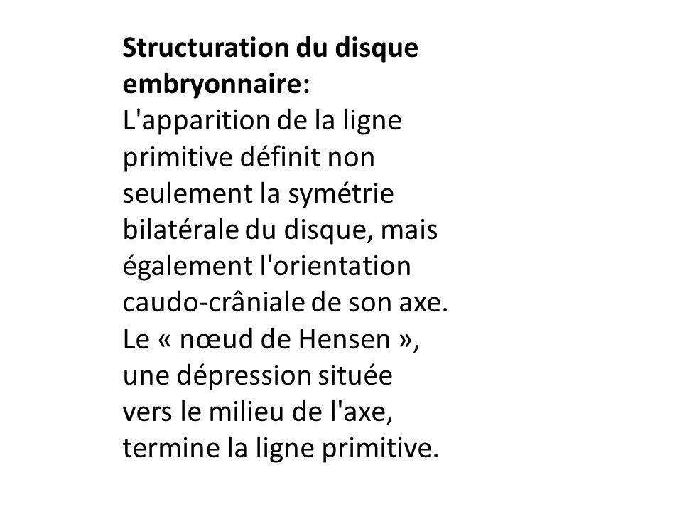 Structuration du disque embryonnaire: L'apparition de la ligne primitive définit non seulement la symétrie bilatérale du disque, mais également l'orie