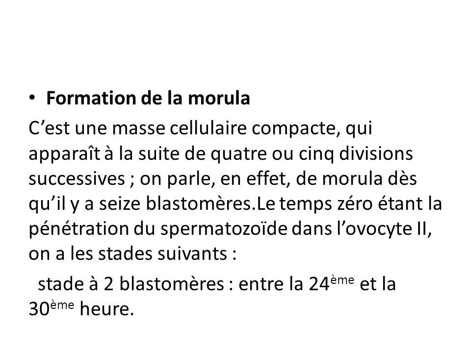 Formation de la morula Cest une masse cellulaire compacte, qui apparaît à la suite de quatre ou cinq divisions successives ; on parle, en effet, de morula dès quil y a seize blastomères.Le temps zéro étant la pénétration du spermatozoïde dans lovocyte II, on a les stades suivants : stade à 2 blastomères : entre la 24 ème et la 30 ème heure.