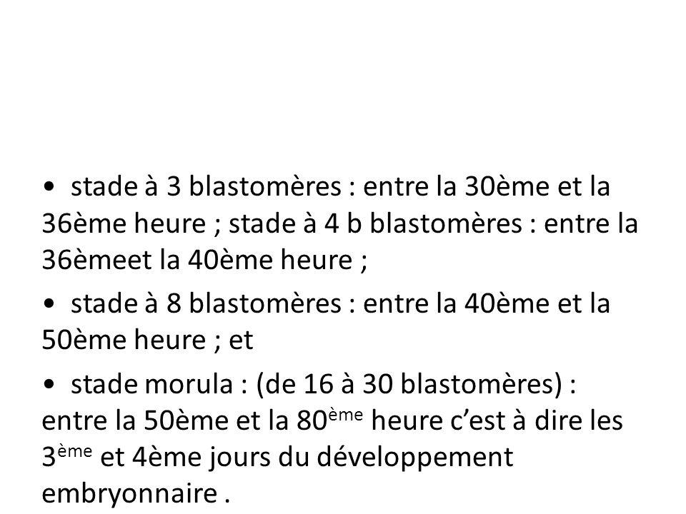 stade à 3 blastomères : entre la 30ème et la 36ème heure ; stade à 4 b blastomères : entre la 36èmeet la 40ème heure ; stade à 8 blastomères : entre l