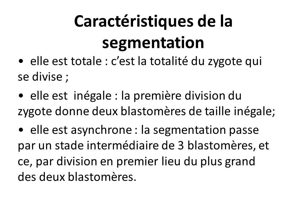 Caractéristiques de la segmentation elle est totale : cest la totalité du zygote qui se divise ; elle est inégale : la première division du zygote donne deux blastomères de taille inégale; elle est asynchrone : la segmentation passe par un stade intermédiaire de 3 blastomères, et ce, par division en premier lieu du plus grand des deux blastomères.