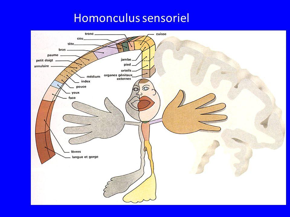 Homonculus sensoriel