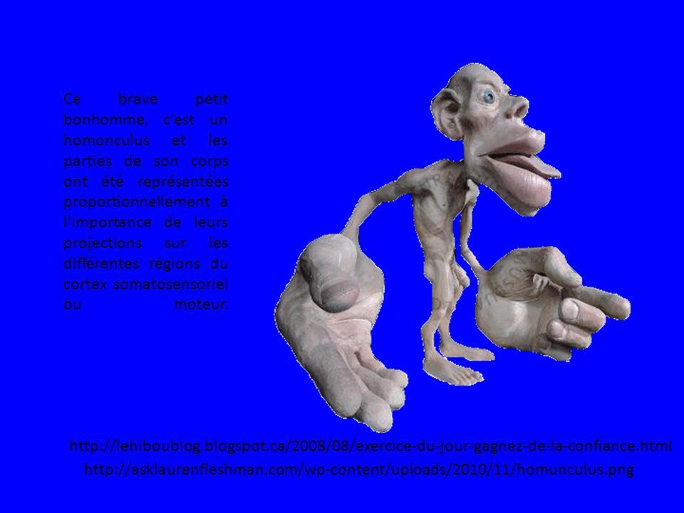 http://asklaurenfleshman.com/wp-content/uploads/2010/11/homunculus.png Ce brave petit bonhomme, c est un homonculus et les parties de son corps ont été représentées proportionnellement à l importance de leurs projections sur les différentes régions du cortex somatosensoriel ou moteur.