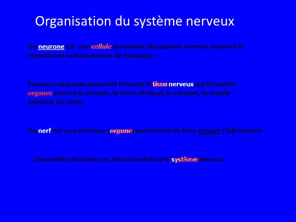 Un neurone est une cellule spécialisée du système nerveux assurant la réception et la transmission de messages.