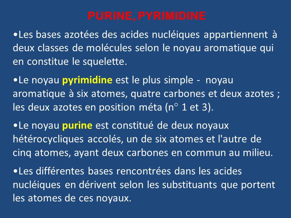 PURINE, PYRIMIDINE Les bases azotées des acides nucléiques appartiennent à deux classes de molécules selon le noyau aromatique qui en constitue le squelette.