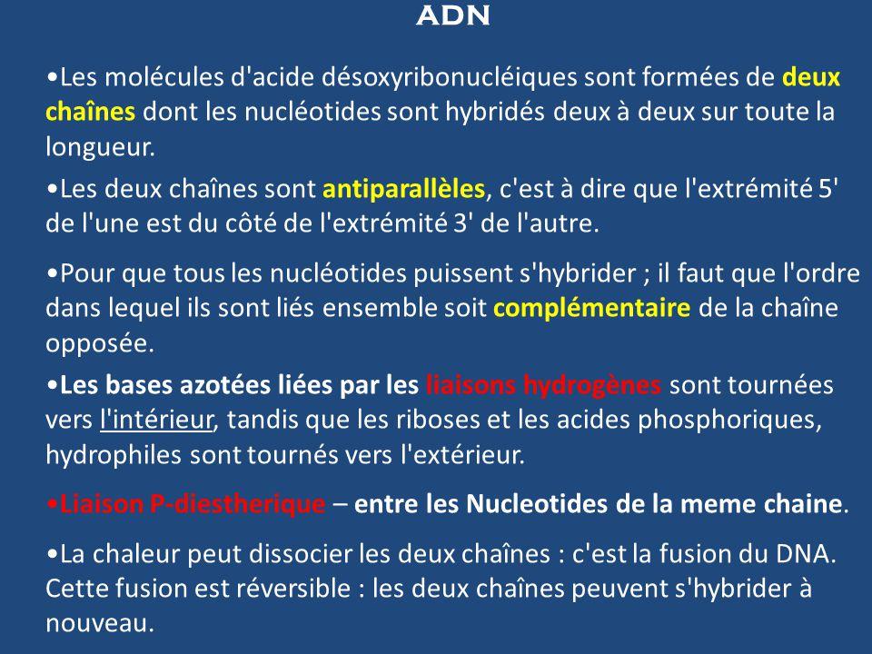 ADN Les molécules d acide désoxyribonucléiques sont formées de deux chaînes dont les nucléotides sont hybridés deux à deux sur toute la longueur.