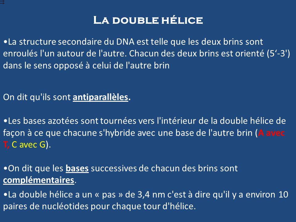 La double hélice La structure secondaire du DNA est telle que les deux brins sont enroulés l un autour de l autre.