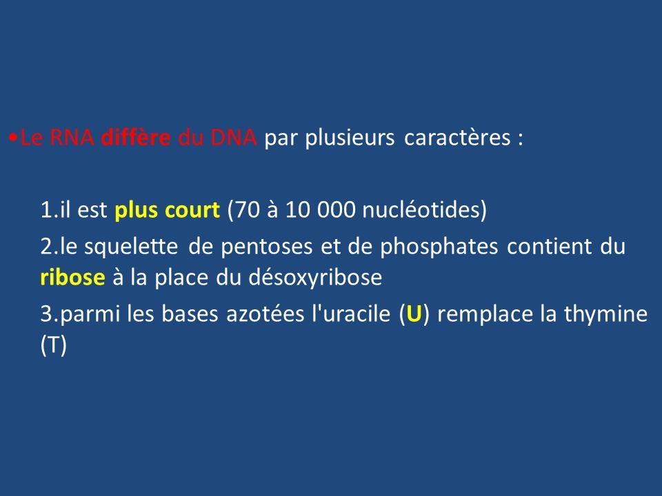 Le RNA diffère du DNA par plusieurs caractères : 1.il est plus court (70 à 10 000 nucléotides) 2.le squelette de pentoses et de phosphates contient du ribose à la place du désoxyribose 3.parmi les bases azotées l uracile (U) remplace la thymine (T)