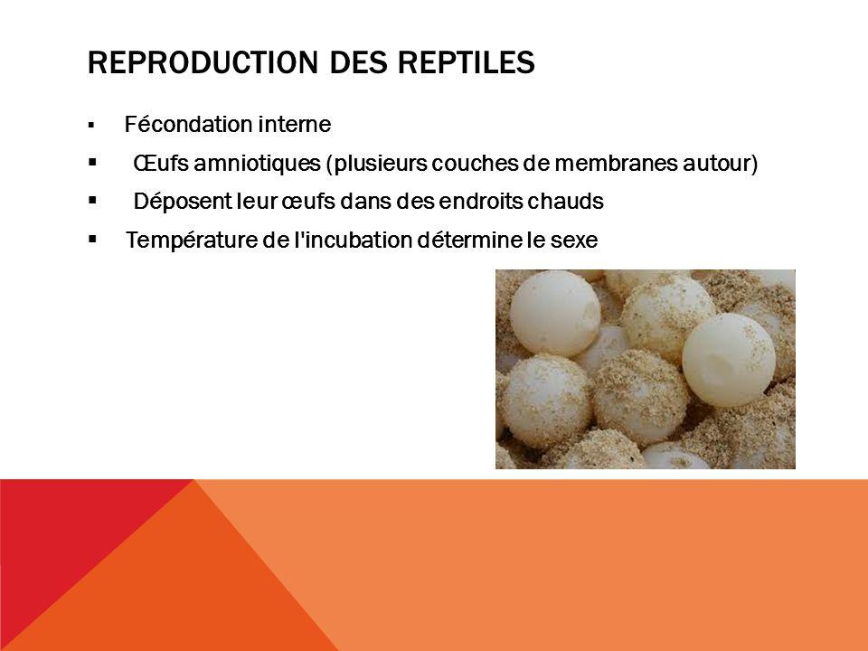 REPRODUCTION DES REPTILES Fécondation interne Œufs amniotiques (plusieurs couches de membranes autour) Déposent leur œufs dans des endroits chauds Température de l incubation détermine le sexe