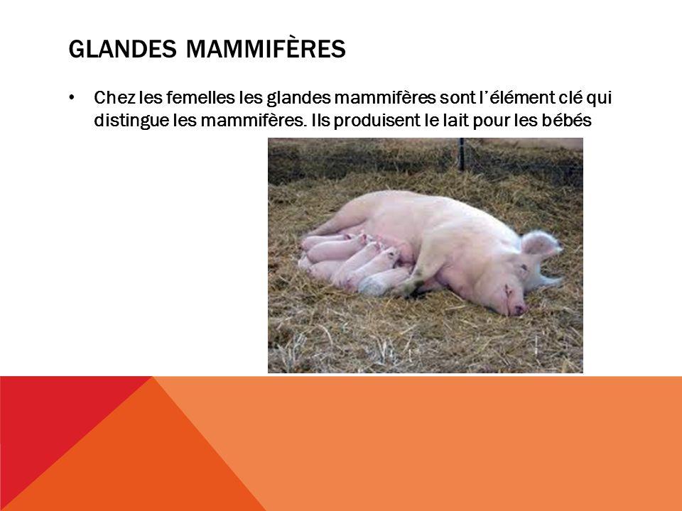 GLANDES MAMMIFÈRES Chez les femelles les glandes mammifères sont lélément clé qui distingue les mammifères.