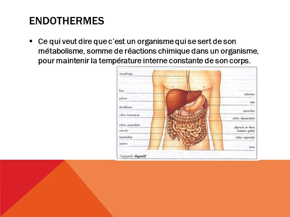 ENDOTHERMES Ce qui veut dire que cest un organisme qui se sert de son métabolisme, somme de réactions chimique dans un organisme, pour maintenir la température interne constante de son corps.