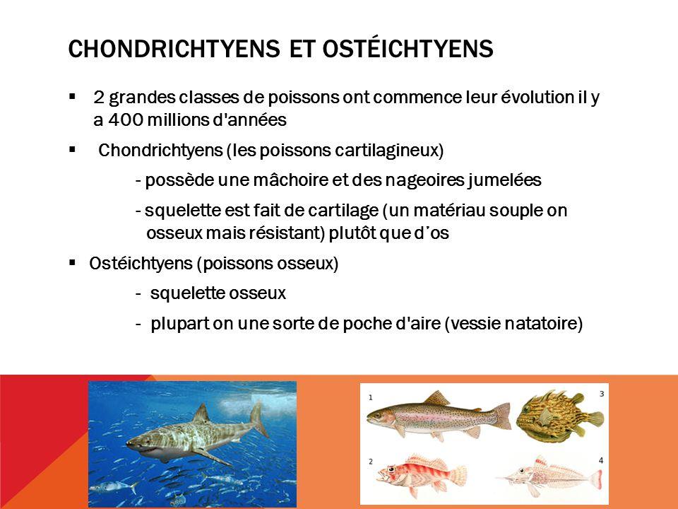 CHONDRICHTYENS ET OSTÉICHTYENS 2 grandes classes de poissons ont commence leur évolution il y a 400 millions d années Chondrichtyens (les poissons cartilagineux) - possède une mâchoire et des nageoires jumelées - squelette est fait de cartilage (un matériau souple on osseux mais résistant) plutôt que dos Ostéichtyens (poissons osseux) - squelette osseux - plupart on une sorte de poche d aire (vessie natatoire)
