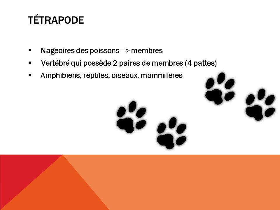 TÉTRAPODE Nageoires des poissons --> membres Vertébré qui possède 2 paires de membres (4 pattes) Amphibiens, reptiles, oiseaux, mammifères