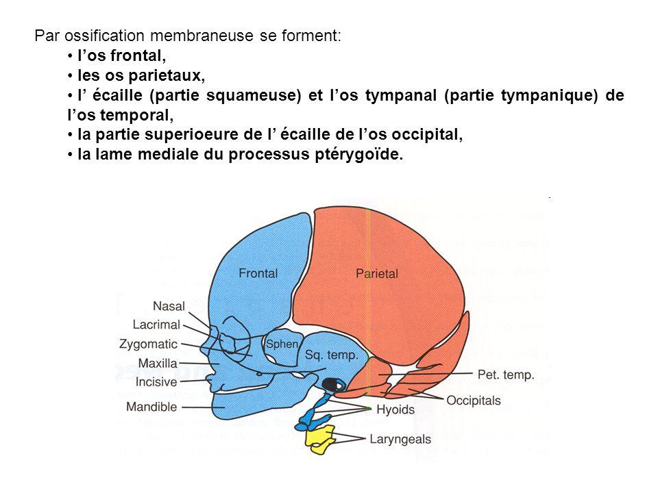 Par ossification membraneuse se forment: los frontal, les os parietaux, l écaille (partie squameuse) et los tympanal (partie tympanique) de los tempor