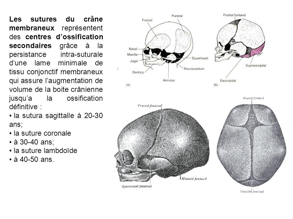 Les sutures du crâne membraneux représentent des centres dossification secondaires grâce à la persistance intra-suturale dune lame minimale de tissu c