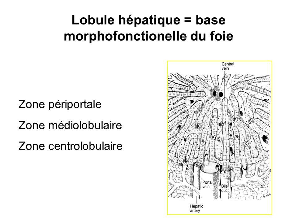 Lobule hépatique = base morphofonctionelle du foie Zone périportale Zone médiolobulaire Zone centrolobulaire