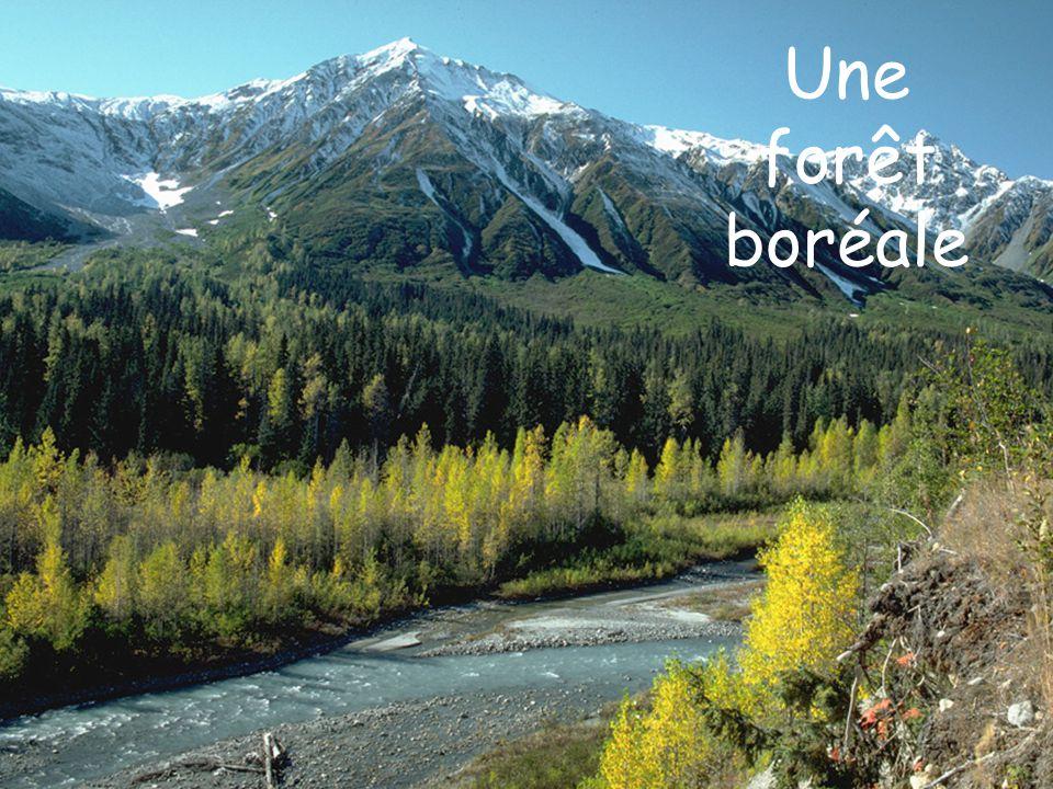 Une forêt boréale