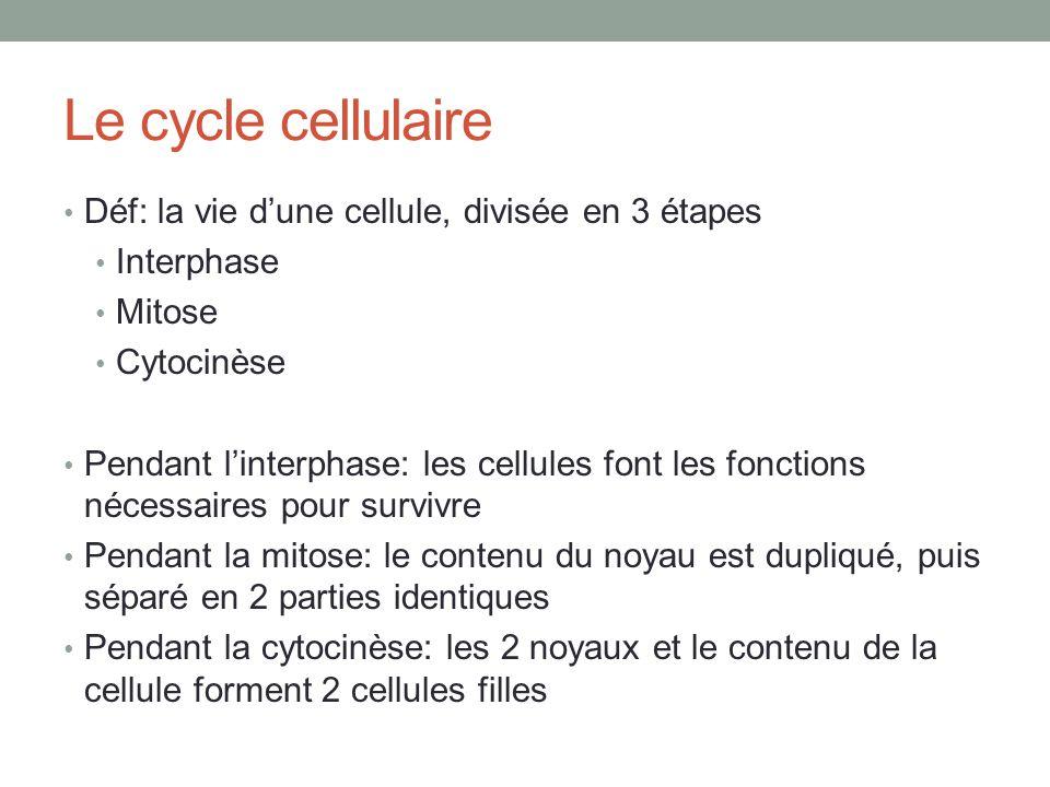 Le cycle cellulaire Déf: la vie dune cellule, divisée en 3 étapes Interphase Mitose Cytocinèse Pendant linterphase: les cellules font les fonctions nécessaires pour survivre Pendant la mitose: le contenu du noyau est dupliqué, puis séparé en 2 parties identiques Pendant la cytocinèse: les 2 noyaux et le contenu de la cellule forment 2 cellules filles