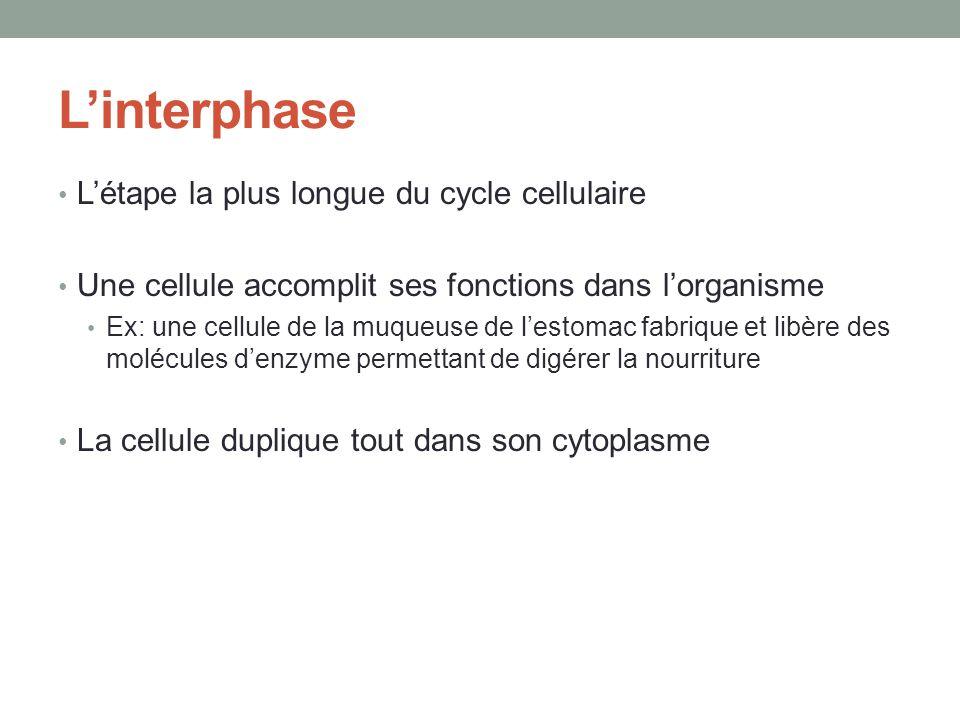 Linterphase Létape la plus longue du cycle cellulaire Une cellule accomplit ses fonctions dans lorganisme Ex: une cellule de la muqueuse de lestomac fabrique et libère des molécules denzyme permettant de digérer la nourriture La cellule duplique tout dans son cytoplasme