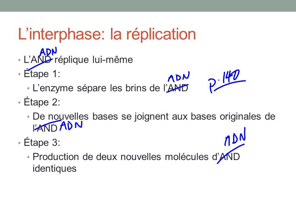 Linterphase: la réplication LAND réplique lui-même Étape 1: Lenzyme sépare les brins de lAND Étape 2: De nouvelles bases se joignent aux bases originales de lAND Étape 3: Production de deux nouvelles molécules dAND identiques