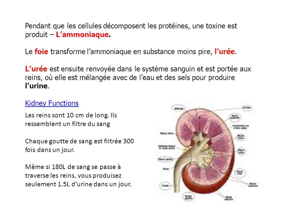 Pendant que les cellules décomposent les protéines, une toxine est produit – Lammoniaque.